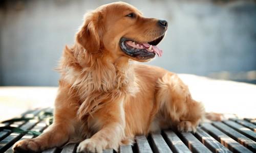 Кучетата, най-добрия приятел на човека – произход , породи и особености